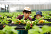 Pretty young greenhouse worker and her male colleague wearing bucket hats picking fresh ripe strawberries, blurred background