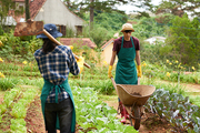 Working process at spacious vegetable garden: handsome Asian man wearing apron and gumboots driving empty wheelbarrow while unrecognizable woman walking along herb beds with hoe in hands