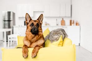 cute German Shepherd and grey cat lying on bright yellow sofa in apartment