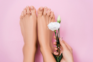 partial view of woman holding white eustoma flower near feet with pastel nail polish on pink background
