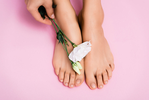 cropped view of woman holding white eustoma flower near feet with glossy nail varnish on pink background
