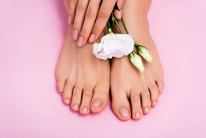 top view of white eustoma flower near groomed female feet and hands with pastel nail polish on pink background
