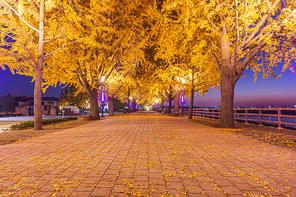 아산 곡교천 은행나무길의 가을