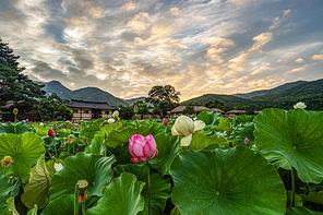 외암민속마을의 연꽃