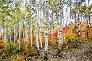 원대리 자작나무숲의 가을