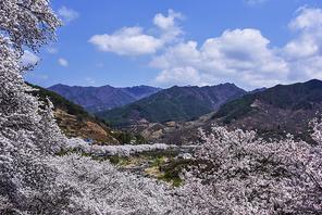 하동십리벚꽃길의 봄
