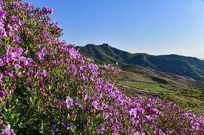 합천 황매산의 봄
