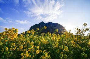 서귀포 산방산과 유채꽃