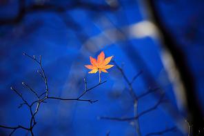 외로운 단풍나뭇잎